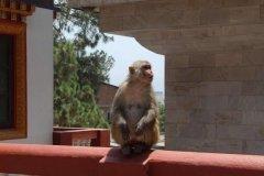 Affe in Tempelanlage Swayambhunath