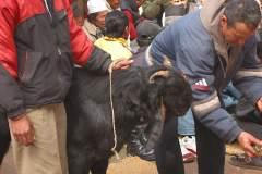 Erster Haarschnitt - Chudakarana -  Opferziege wird mit Sindur und Kurkuma gesegnet