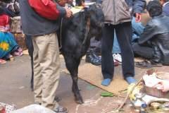 Erster Haarschnitt - Chudakarana -  Gesegnete Opfer-Ziege