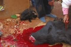 Erster Haarschnitt - Chudakarana - geschlachter Kopf der Opfer-Ziegen
