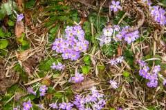 Himalaya-Gokyo-Lila-Blumen-Im-Gebirge