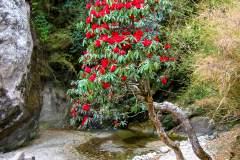Himalaya-Gokyo-Rhododendron-Am-Fluss