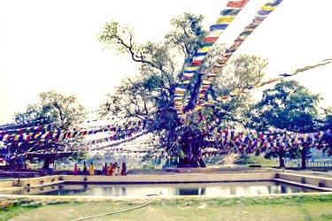Buddha Geburtsort Lumbini Baum mit Teich